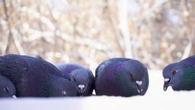 Голуби есть зерно в парке в зиме Конец-вверх голубей клюя пшено в снеге в парке на предпосылке проходить видеоматериал