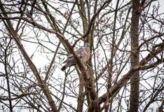 Голубь дик, весной сидит на ветви дерева близкой и воркуя стоковое фото