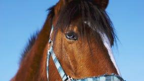 Голубоглазая лошадь Конец лошади Brown вверх сток-видео