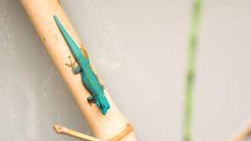 Голубое anole сидя на ручке стоковые изображения