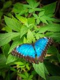Голубое Morpho, peleides Morpho, большая бабочка сидя на зеленых листьях, красивое насекомое в среду обитания природы, живая прир стоковые фото