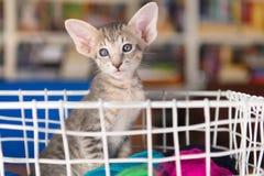 Голубой восточный котенок shorthair стоковое изображение rf