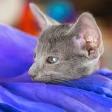 Голубой восточный котенок shorthair стоковая фотография rf