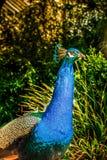 Голубой конец павлина вверх Красочное животное стоковое изображение rf