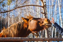 Голова красной лошади протягивает к ладони руки стоковое фото