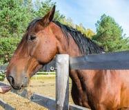Голова конца лошади залива вверх стоковое изображение rf
