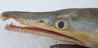 Голова рыб стоковая фотография