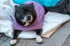 Голодная собака лежа самостоятельно и подавленная на чувстве улицы встревоженном и сиротливом в спальном мешке и ждать еде против стоковые изображения rf