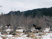 Голодные лоси есть в Аляске стоковое фото rf