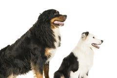 Гора Berner Sennen и австралийское положение собаки чабана на белой предпосылке стоковое изображение