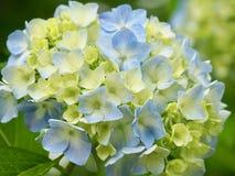 Гортензия в японском парке цветка стоковое изображение rf