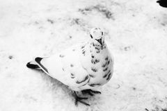 Голубь. The dove is one of the most common birds in the world royalty free stock photo
