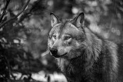 Евроазиатская волчанка волчанки волка волка стоковые изображения