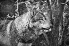 Евроазиатская волчанка волчанки волка волка стоковое изображение rf