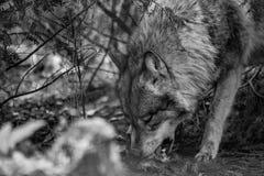 Евроазиатская волчанка волчанки волка волка стоковые фотографии rf