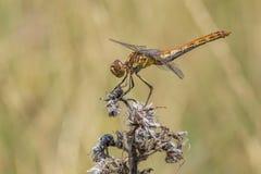 Европейский желтый dragonfly сидя на stig стоковые фотографии rf