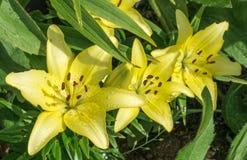 Желтая лилия на темной ой-зелен предпосылке стоковые фотографии rf