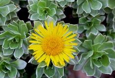 Желтая маргаритка Канарских островов, сад центра Getty стоковые фото