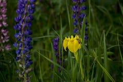 Желтая дикая орхидея с зеленой травой стоковая фотография