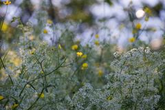 Желтые и белые цветки в накаляя заходе солнца стоковая фотография rf