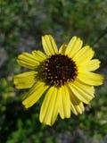 Желтые полевые цветки вдоль Рекы Santa Ana в Yorba Linda Калифорния стоковое фото rf