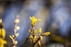 Желтые цветки на ветви в осени Цветки на ветвях древесины с запачканной предпосылкой малая глубина взгляда стоковая фотография rf
