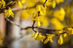 Желтые цветки на ветви в осени Цветки на ветвях древесины с запачканной предпосылкой малая глубина взгляда стоковые фото