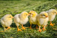 Желтые цыплята на лужайке на ферме стоковое фото rf