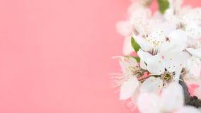 желтый цвет весны лужка одуванчиков предпосылки полный Деревья вишневого цвета, белые цветки Сакуры и зеленые листья на предпосыл стоковые изображения