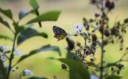 Желтый цвет и апельсин черноты бабочки собирают цветок меда белый стоковое фото rf