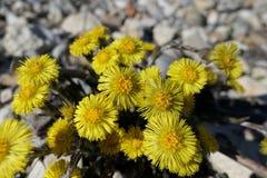 Желтый цвет цветка весны в середине камня стоковое фото