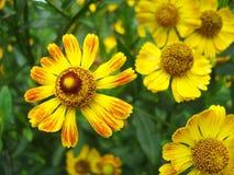 Желтый цвет Helenium на зеленой предпосылке стоковая фотография