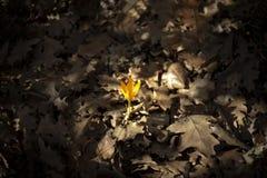 Желтый цветок, желтый крокус, крокус снега, золотой крокус стоковое фото