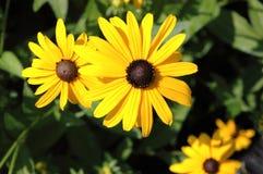 Желтый черный наблюданный цветок изолировал белое стоковое изображение rf
