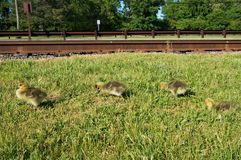 4 желтых канадских цыпленока гусыни идя на траву вдоль железнодорожных путей с зелеными деревьями на предпосылке стоковые фотографии rf