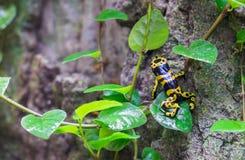 Желт-соединенная лягушка дротика отравы (leucomelas Dendrobates) на тропическом павильоне леса стоковые изображения rf