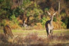 Женские лань красных оленей или задний, elaphus Cervus стоковое фото rf