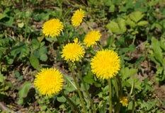 Желтые одуванчики цветут на зеленом лугу. Yellow dandelions blossom on a green meadow Stock Photo
