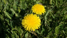 Желтые одуванчики цветут на зеленом. Yellow dandelions blossom on a green meadow Royalty Free Stock Image