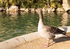 Животное биографической пруд Парк cit Утка стоковая фотография