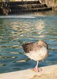 Животное биографической пруд cit Парк Утка стоковое фото