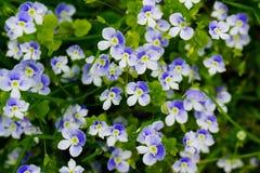Забудьте меня не конец цветка вверх по цветнику стоковая фотография rf