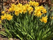 Заводы и сады: daffodils в саде стоковые изображения