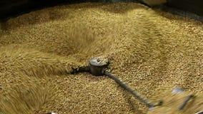 Зажаренные стержени семян подсолнуха политы в барабанчик для охлаждать Производство семян В одном файле много акции видеоматериалы