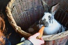Зайчик пасхи, кролик есть морковь стоковые фотографии rf