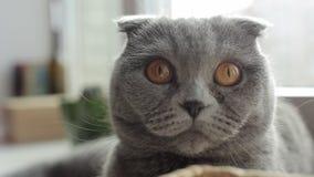 Закройте вверх красивого шотландского кота створки смотря в камеру со смешной стороной видеоматериал