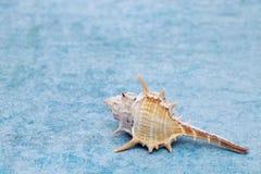 Закройте вверх колючего seashell стоковые фотографии rf