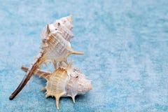 Закройте вверх колючего seashell стоковые изображения rf