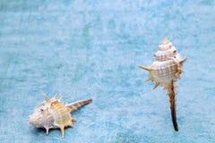 Закройте вверх колючего seashell стоковая фотография