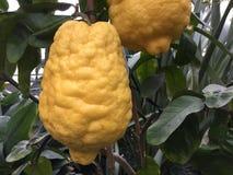 Закройте вверх лимонов на дереве Candied дерево корки лимона стоковые фотографии rf